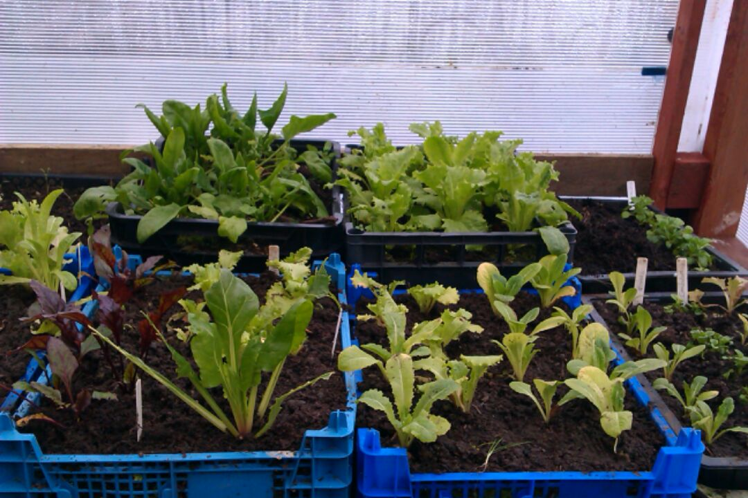 Hilary's salads, in the new greenhouse